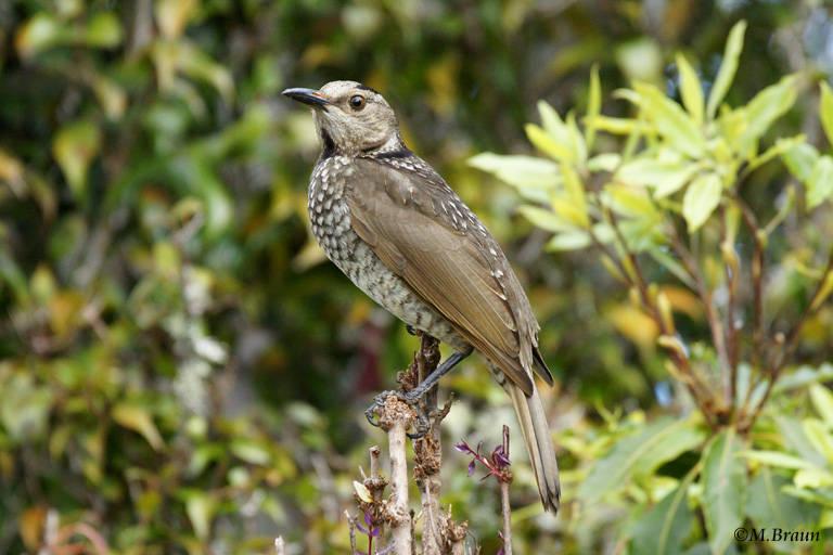 Gelbnacken-Laubenvogel, weibl. - Sericulis chrysocephalus