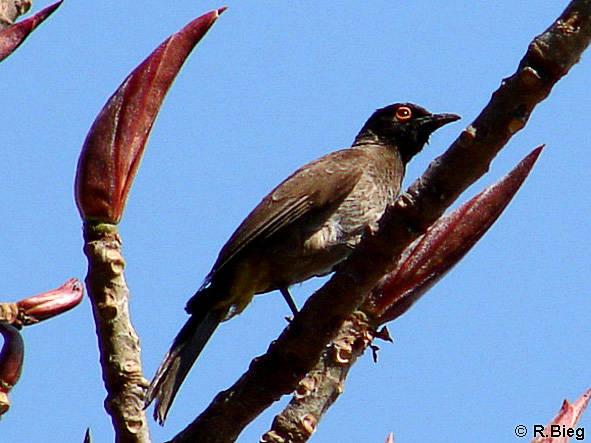 Pycnonotus nigricans - Maskenbülbül