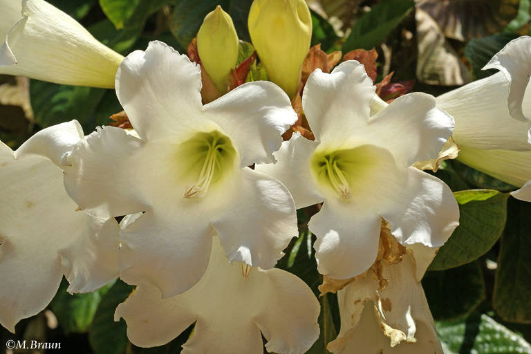 Beaumontia grandiflora - ursprünglich aus Nepal stammend