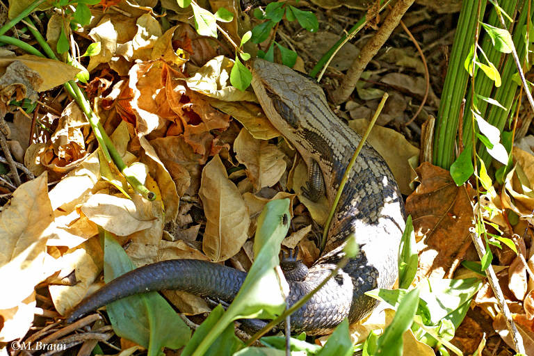 Eastern Blue-tongued Lizard - Tiliqua scincoides