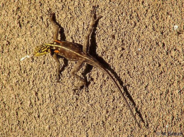 Namibische Felsenagame - Agama planiceps - Weibchen