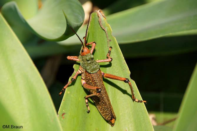 Heuschrecke - Phymateus leprosus