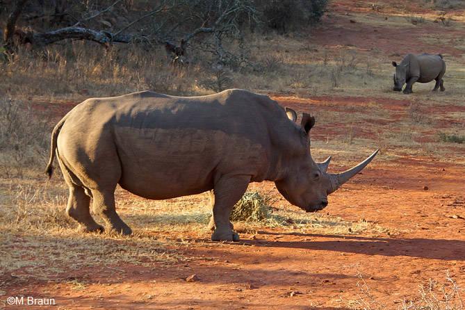Leider in ganz Südafrika stark von Wilderei bedroht