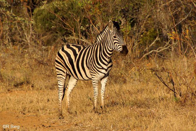 Burchell´s Zebra - Equus burchelli