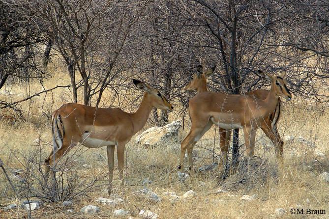 Schwarzgesichts-Impala - Aepyceros melampus petersi