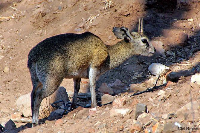 Klippspringer - die zierlichen Antilopen hielten sich häufig an unserer Unterkunft auf