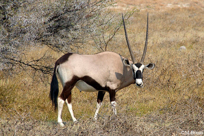 Oryx - Oryx gazella