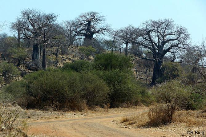 In der Umgebung von Punda Maria gibt es noch etliche Baobabs