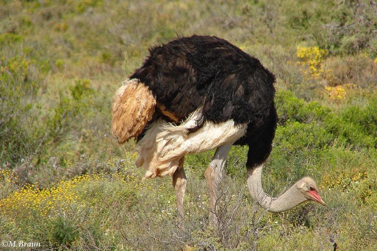 Struthio camelus - in der Gegend gibt es viele Straußenfarmen, aber man sieht auch immer wieder wilde Strauße