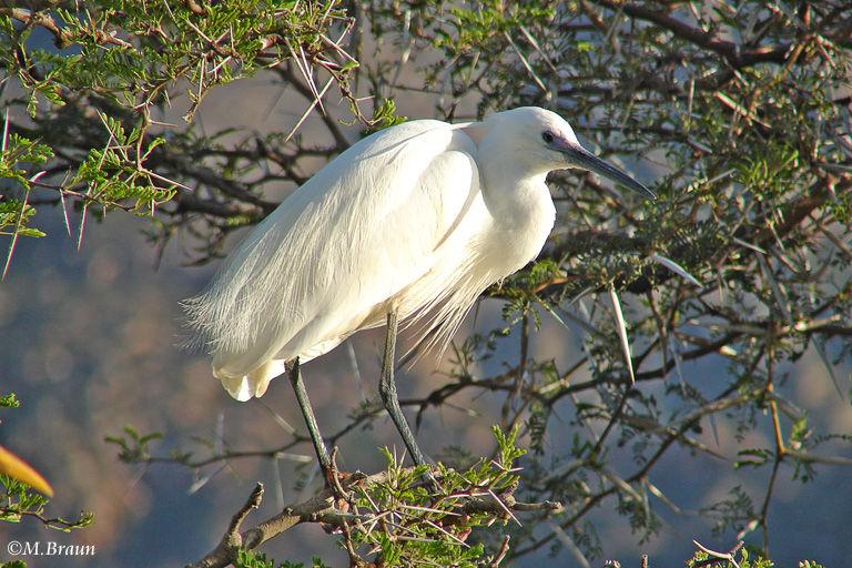 Silberreiher - Egretta alba