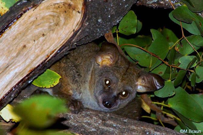 Bushbaby: Großohr-Riesengalago - Otilemur crassicaudatus - nachts in Punda Maria