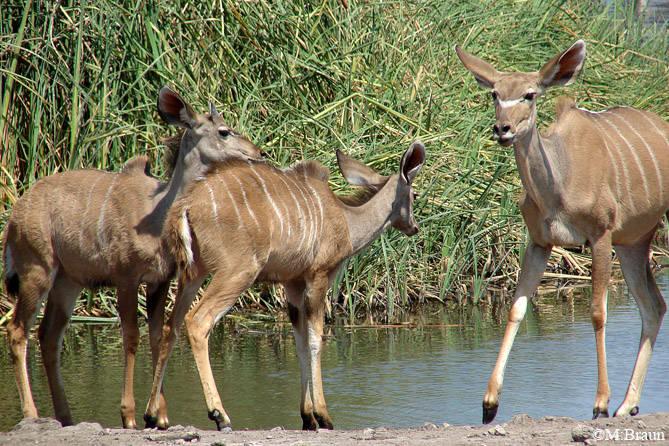 Großer Kudu -Tragelaphis strepsiceros