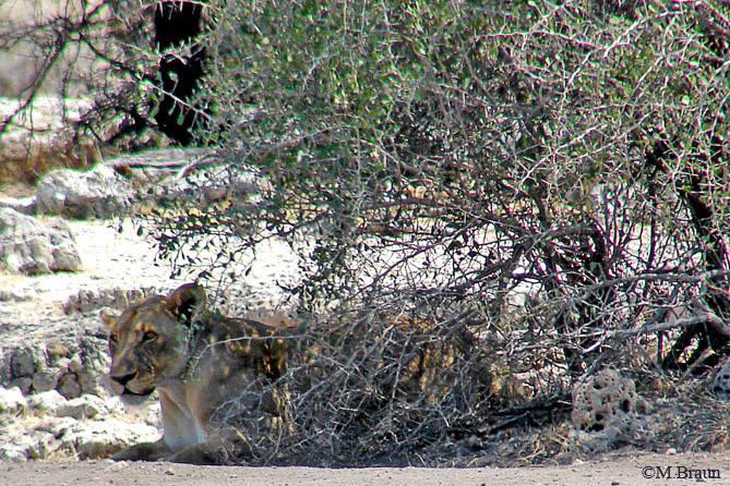 Der Löwe war zuvor völlig vom Busch verdeckt - wir haben ihn nicht gesehen