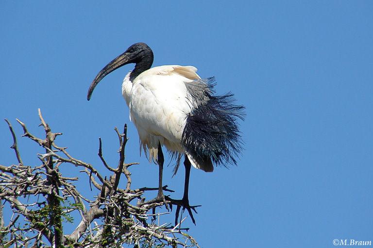 Thresciornis aethiopicus - Heiliger Ibis