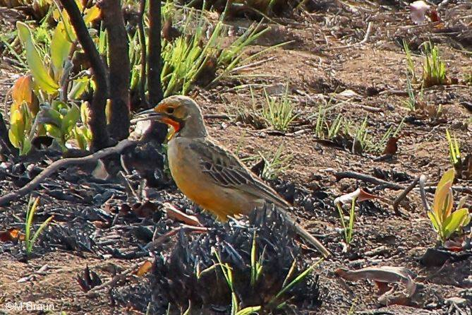 Macronyx capensis - Großspornpieper