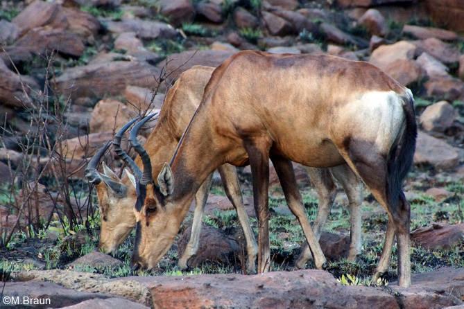 Südafrikanische Kuhantilope - Alcelaphus caama