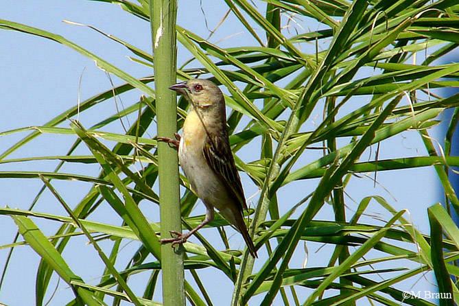 Ploceus cucullatus - auch Dorfweber genannt, Weibchen