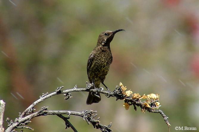 Chalcomitra senegalensis - Rotbrust-Glanzköpfchen, Weibchen
