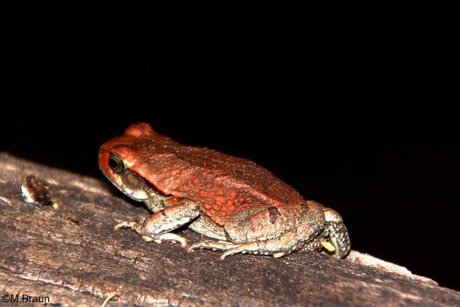 Nächtliche Besucher - Schismaderma carens - Rote Kröte