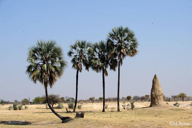 Palmen und große Termitenbauten