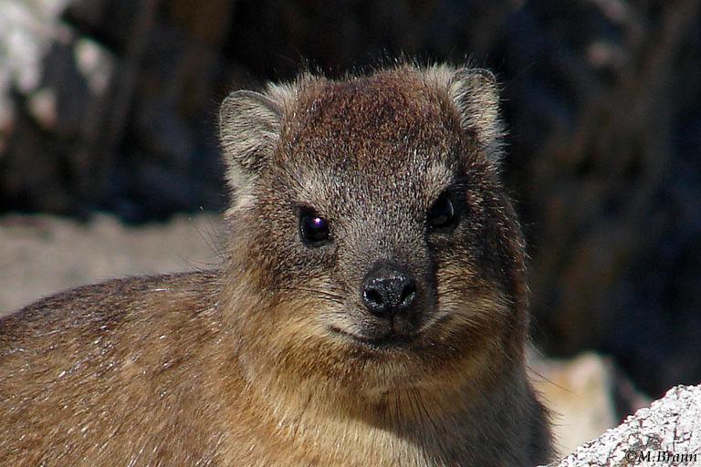 Klippschliefer - Procavia capensis - Klippschlieffer leben in trockenen, felsigen Gebieten