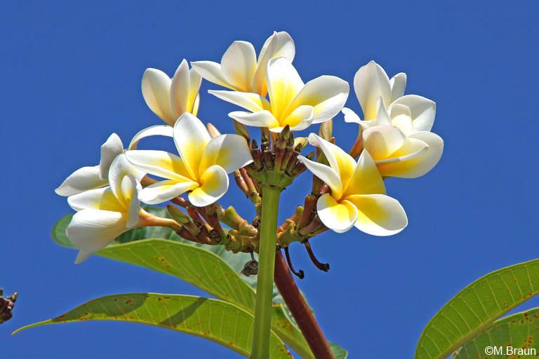 Frangipani - Plumeria sp.