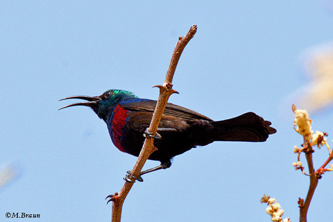 Bindennektarvogel - Cinnyris mariquensis