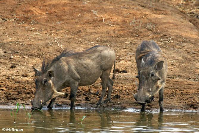 Warzenschweine am Wasserloch