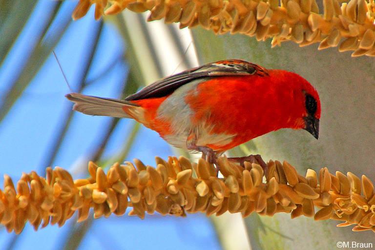 Madagaskarweber - Foudia madagascariensis-auch er wurde eingeschleppt