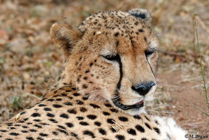 Gepard - das schnellste Landtier der Welt