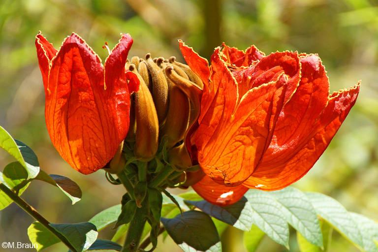 Afrikanischer Tulpenbaum - Spathodea campanulata