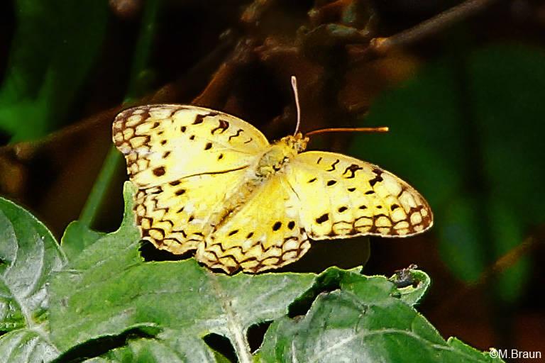 Phalanta phalanta - ein Nymphalide, der auch im südlichen Asien vorkommt