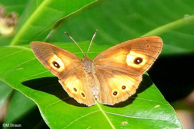 Henotesia narcissus - er lebt z. Bsp. auch auf Madagaskar und Réunion