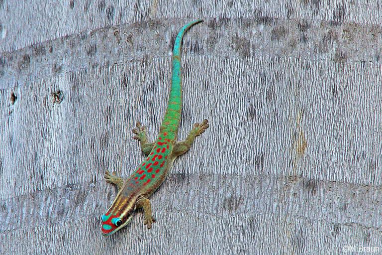 Ornament-Taggecko - Phelsuma ornata