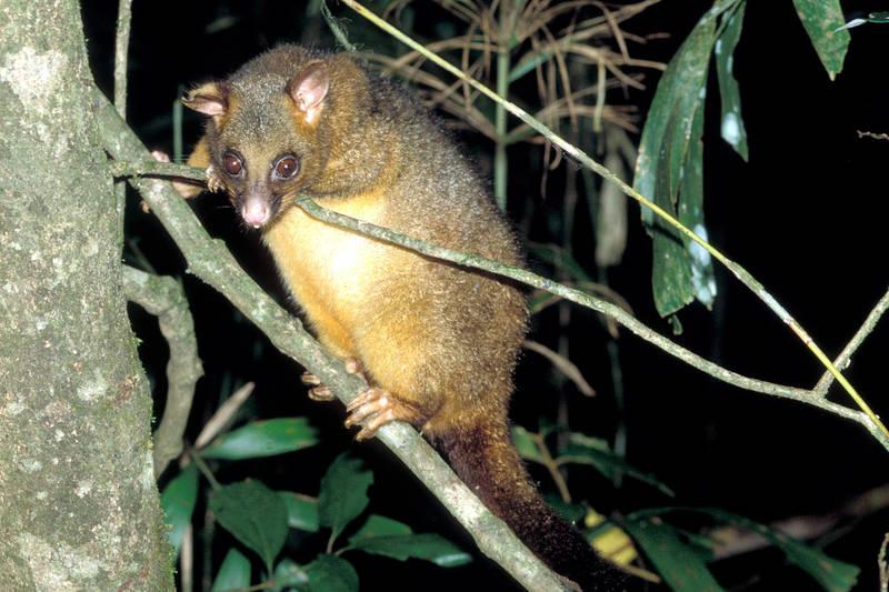 Fuchskusu - Trichosurus vulpecula