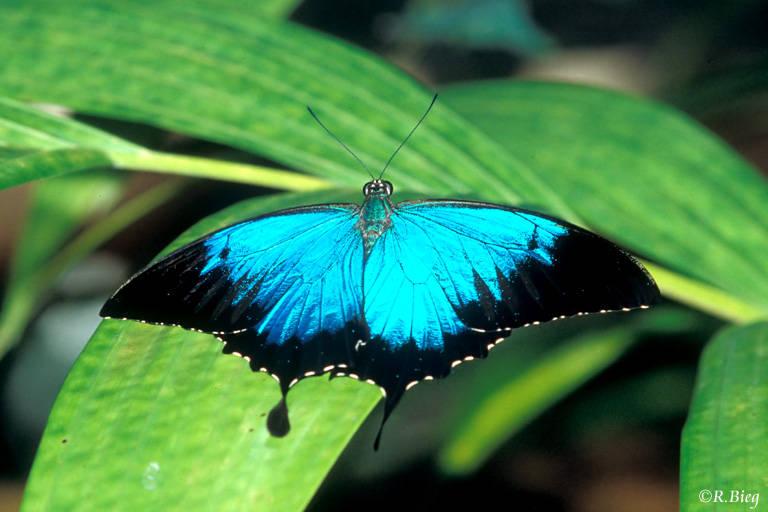 Ulysses-Falter - Papilio Ulysses