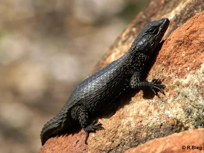 Schwarzer Gürtelschweif - Cordylus niger