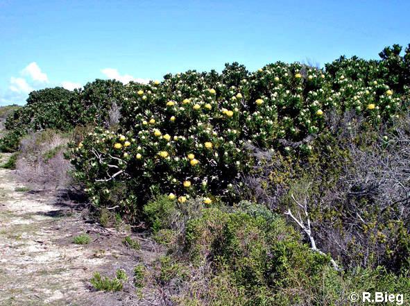 Fynbos-Vegetation