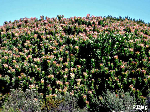 Fynbos-Vegetation
