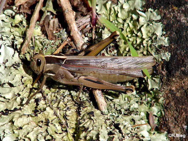 Acanthacris ruficornis