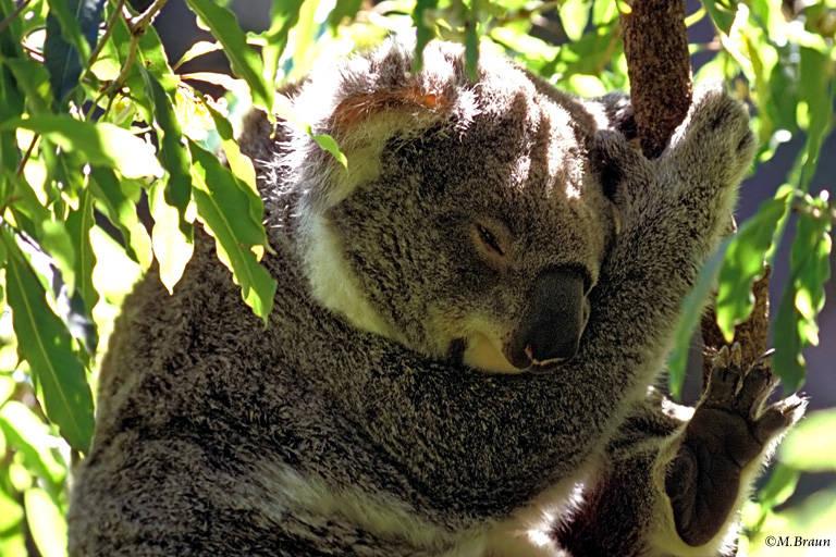 Auf der Halbinsel leben Koalas