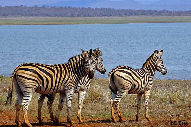 Zebras im Pongola Nature Reserve