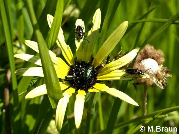 An den Blüten sitzen überall Käfer