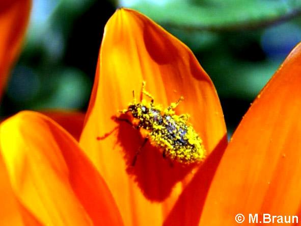 Mit Pollen beladen