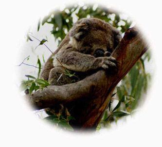 Koala klein