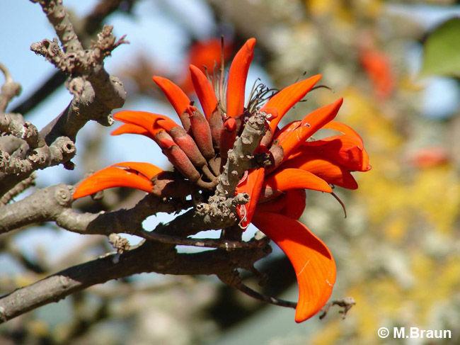 Korallenbaum - Erythrina caffra