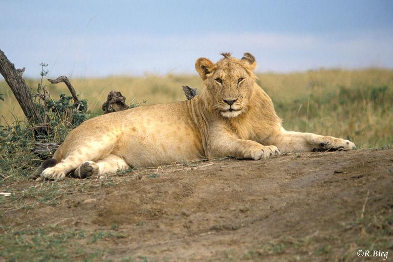 Löwe - Panthera leo - am Ende unseres Aufenthaltes sahen wir auch sie noch