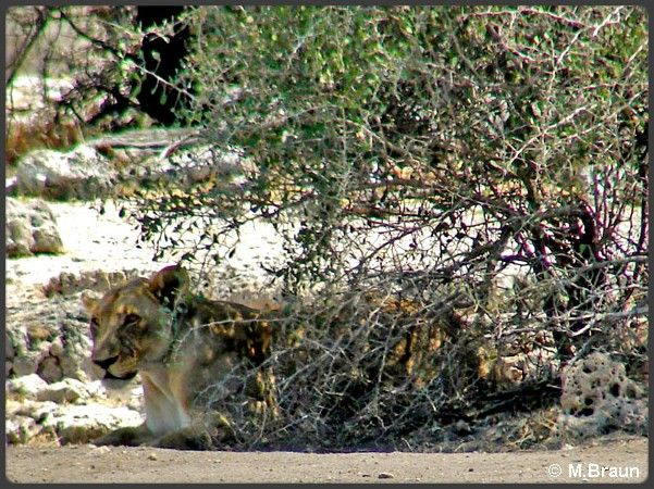 Löwe getarrnt
