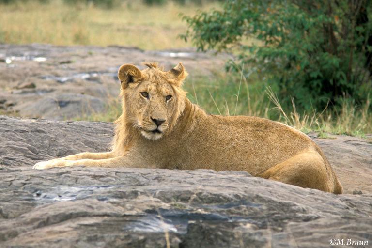 Löwe - Panthera leo - nun hatten wir die Big Five komplett