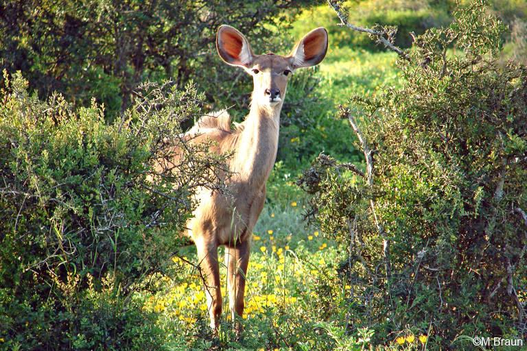 Großer Kudu - Tragelaphus strepsiceros, Weibchen